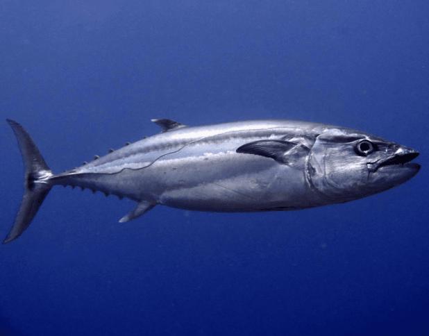 Dogtooth tuna | Photo: Jen Craighill