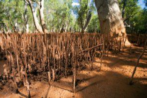 Mangrove forest in Mahajamba | Photo: Garth Cripps