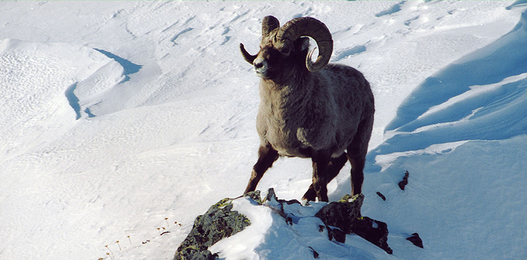 Kamchatka snow sheep hunting