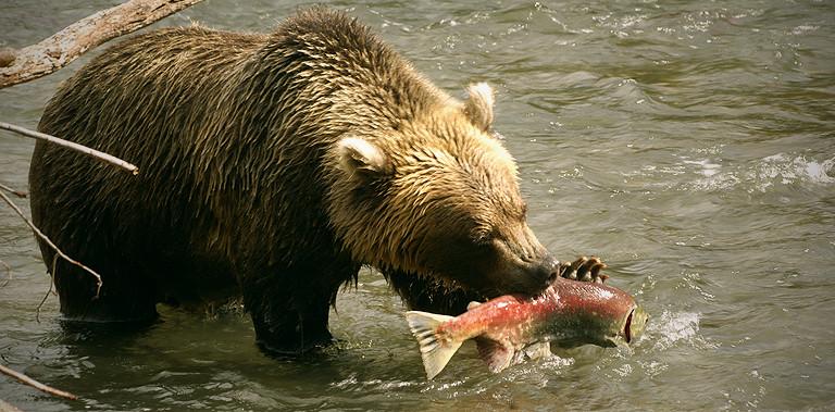 Kamchatka bear fall hunting