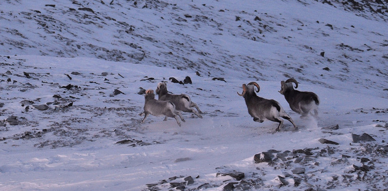 Spooked herd of Yakutia snow sheep