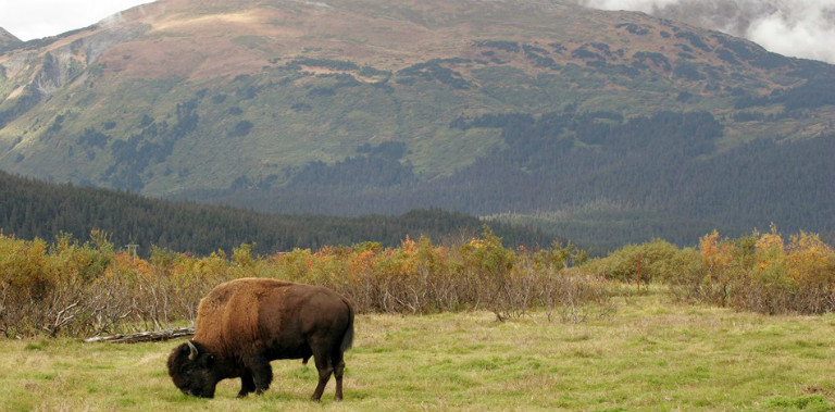 Wildlife_2_buffalo
