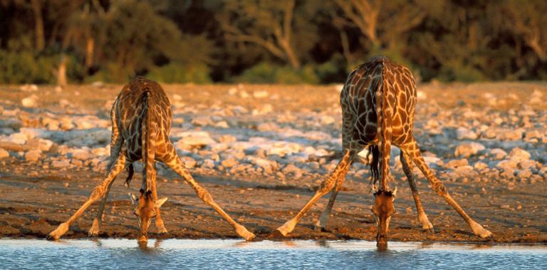 national-park-namibia-wallpaper-etosha-giraffes-thirsty-background-image-travel-213006