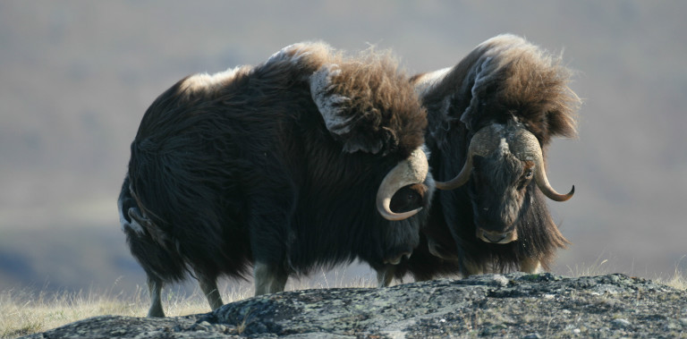 post_adultmalemuskoxgreenland-2