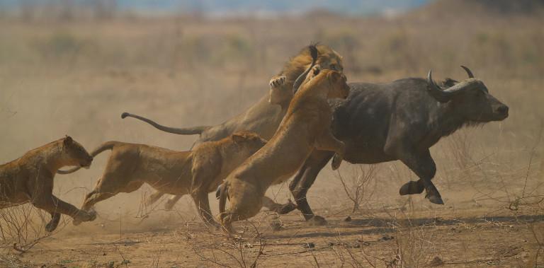 nws-st-zimbabwe-wildlife-chase