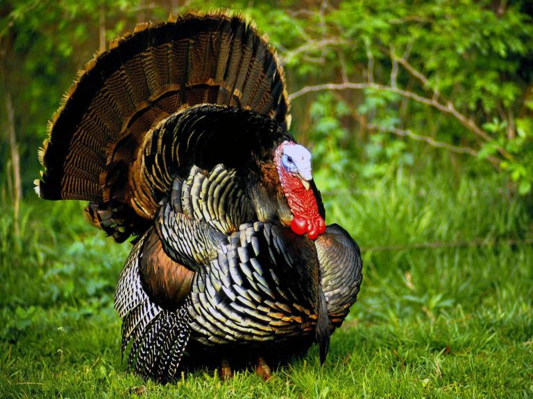 Wild turkey gobbler in spring