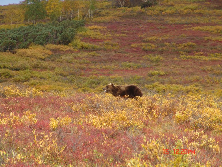 Berry fields - perfect place to spot a good bear.JPG