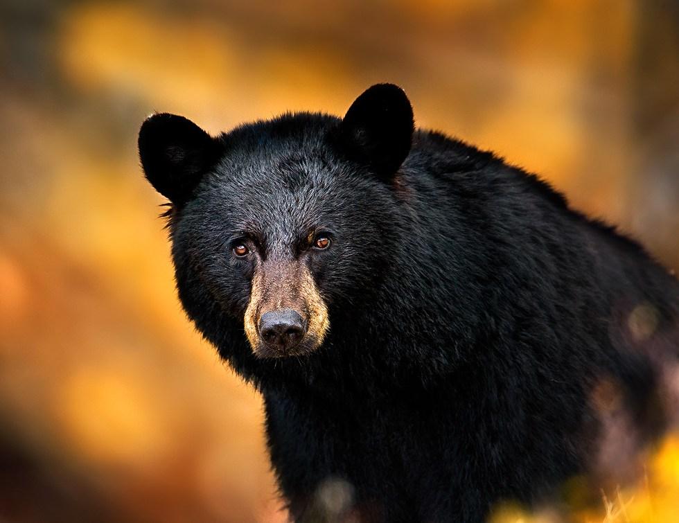 A black bear