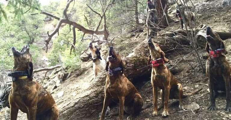 cougar_hounds_canyonrim