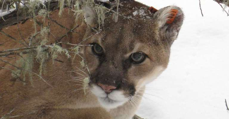 cougar_silentmountain2