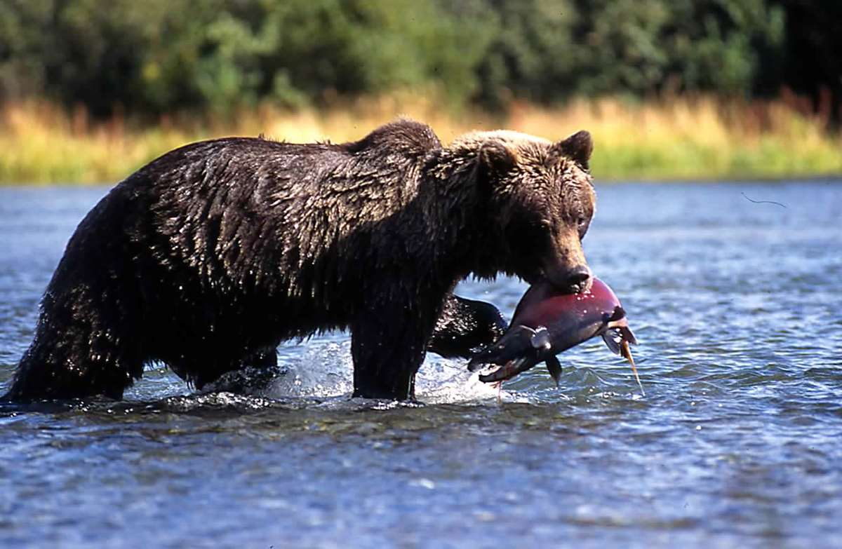 A brown bear fishing for salmon on the Alsek River in Alaska