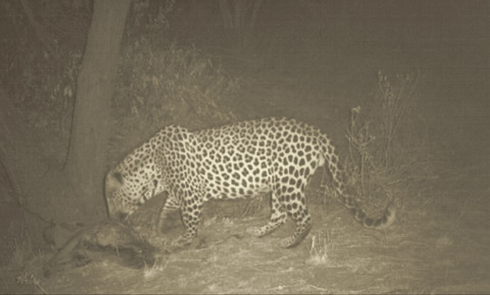 Trailcam picture of Namibian leopard