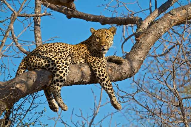 A big male leopard resting on a tree