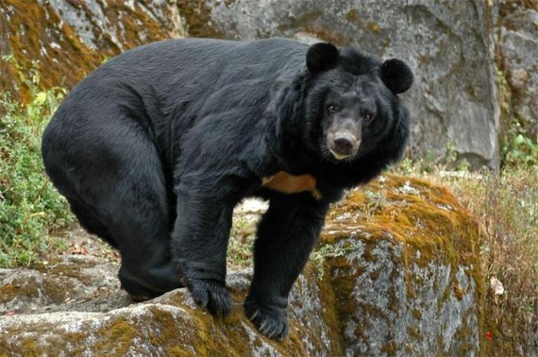 Himalayan bear can be legally hunted in Russia