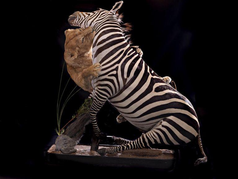 A lion and zebra scene mount