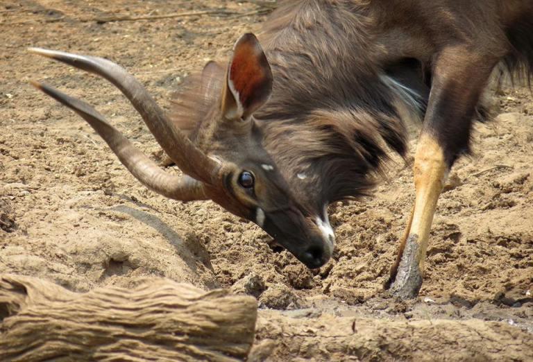 nyala antelope waterhole