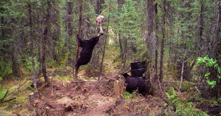 black bear at a bait site