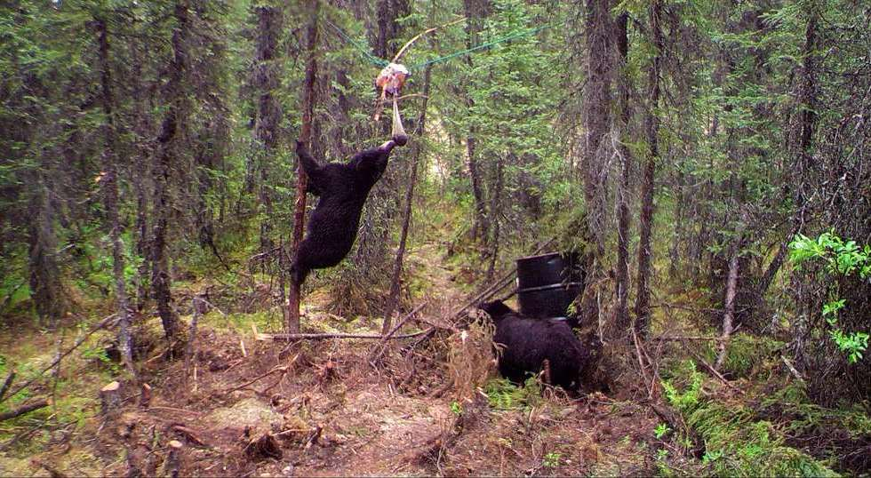 black bear at a bait site