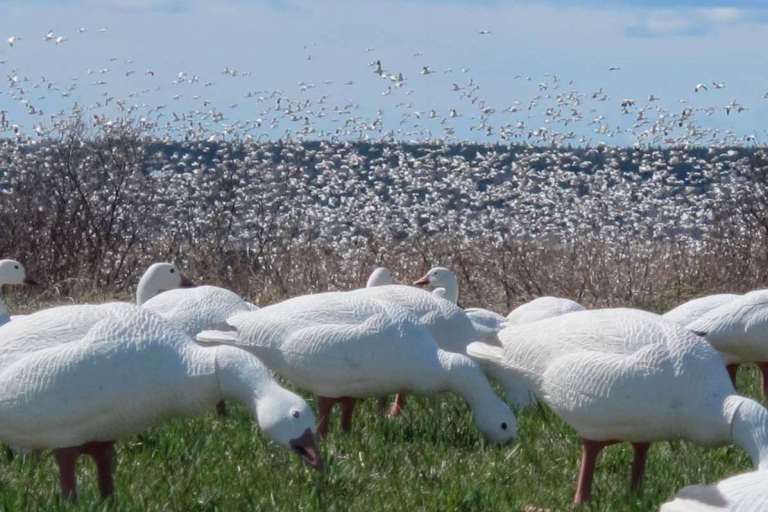 geese and decoys