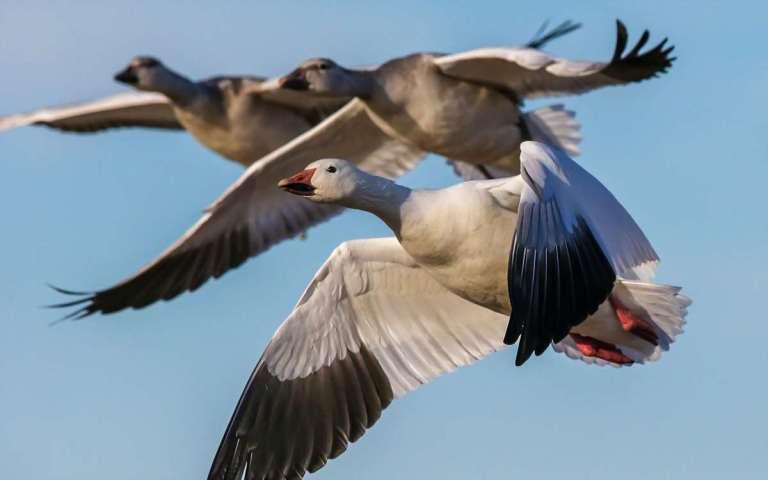 light geese 3