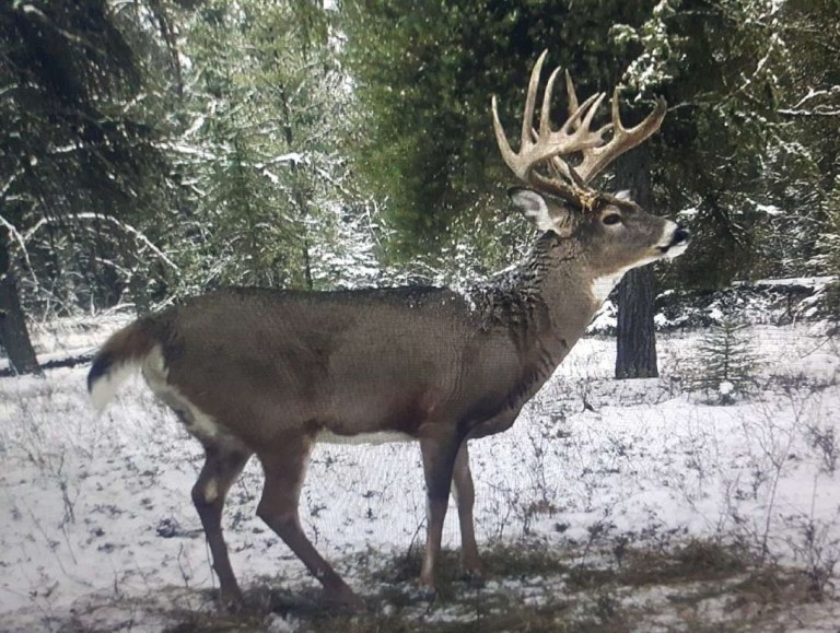 A nice whitetail deer trophy