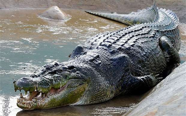 Every big Nile crocodile is a potential maneater