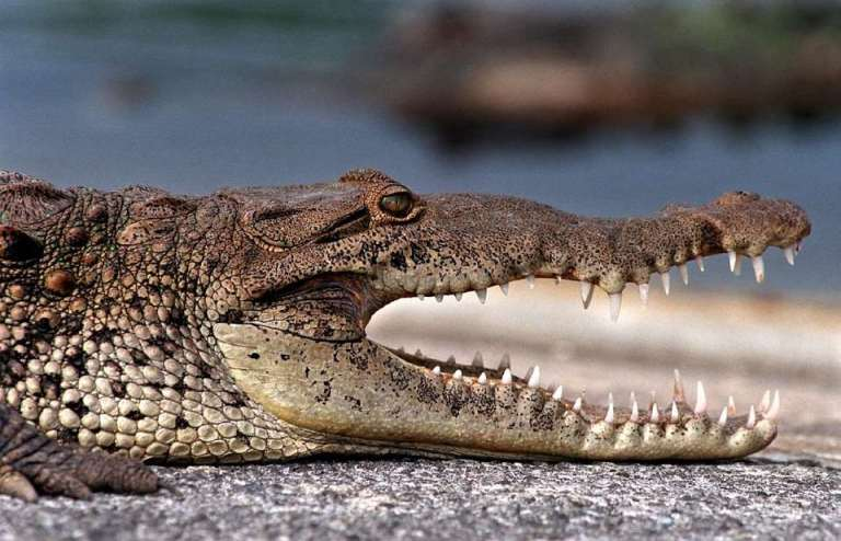 A crocodile's brain is a small target