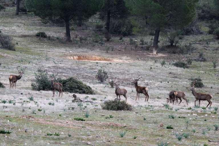 A herd of red deer in Spain