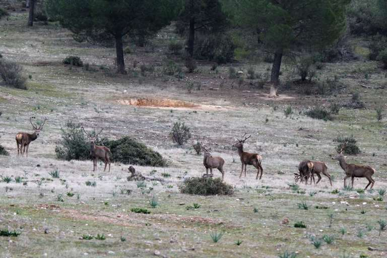 A herd of red deer in Spain