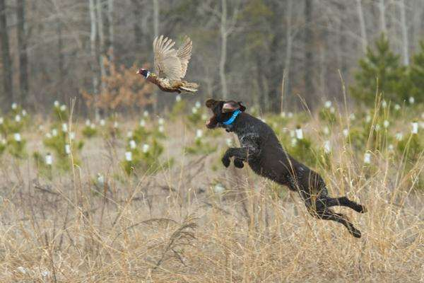 A dog almost caught a pheasant that is taking off