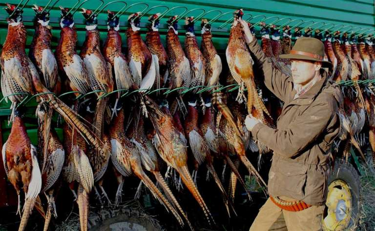 A traditional display of harvested pheasants after a driven hunt or shoot in Europe