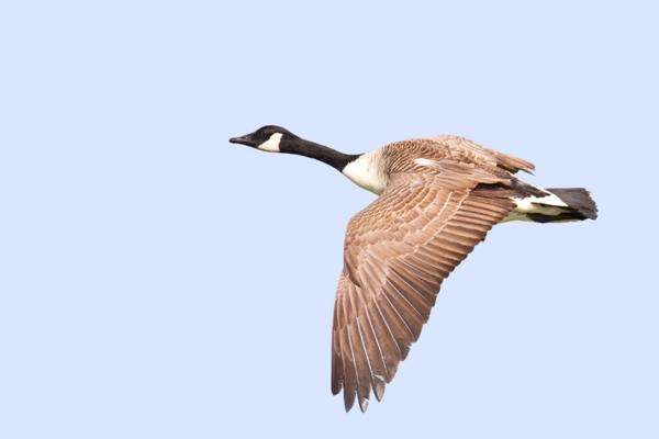 A single flying Canada goose