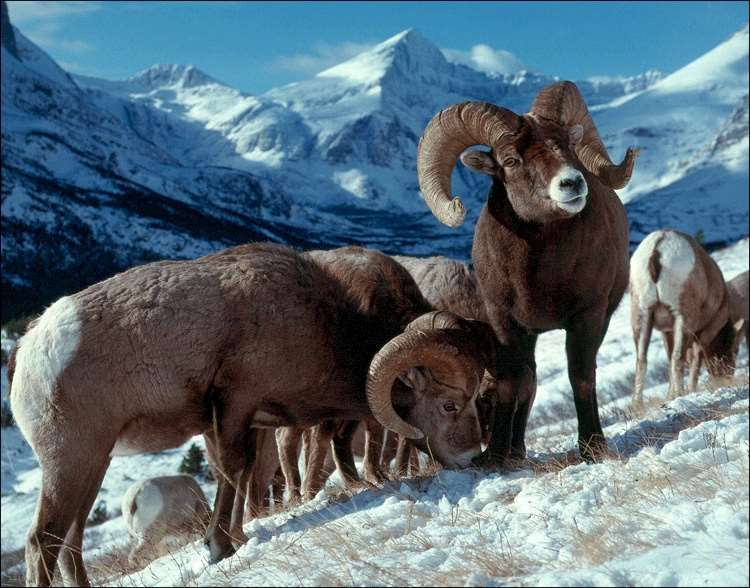 A flock of Bighorn Sheep in the snow