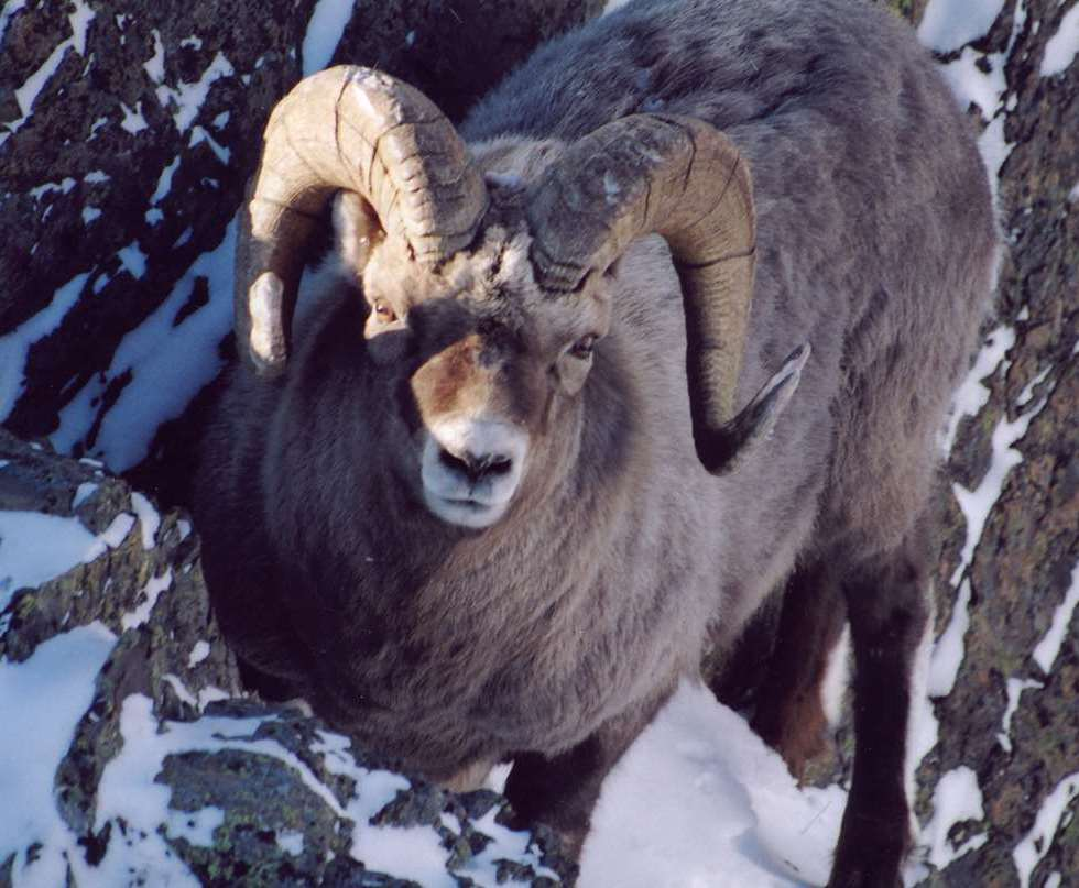 A Snow Sheep Standing on a Rock