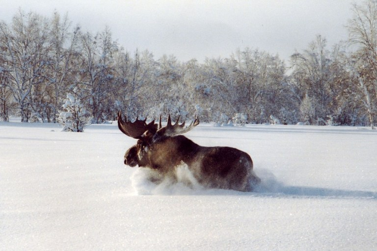 Kamchatka moose running through deepp snow