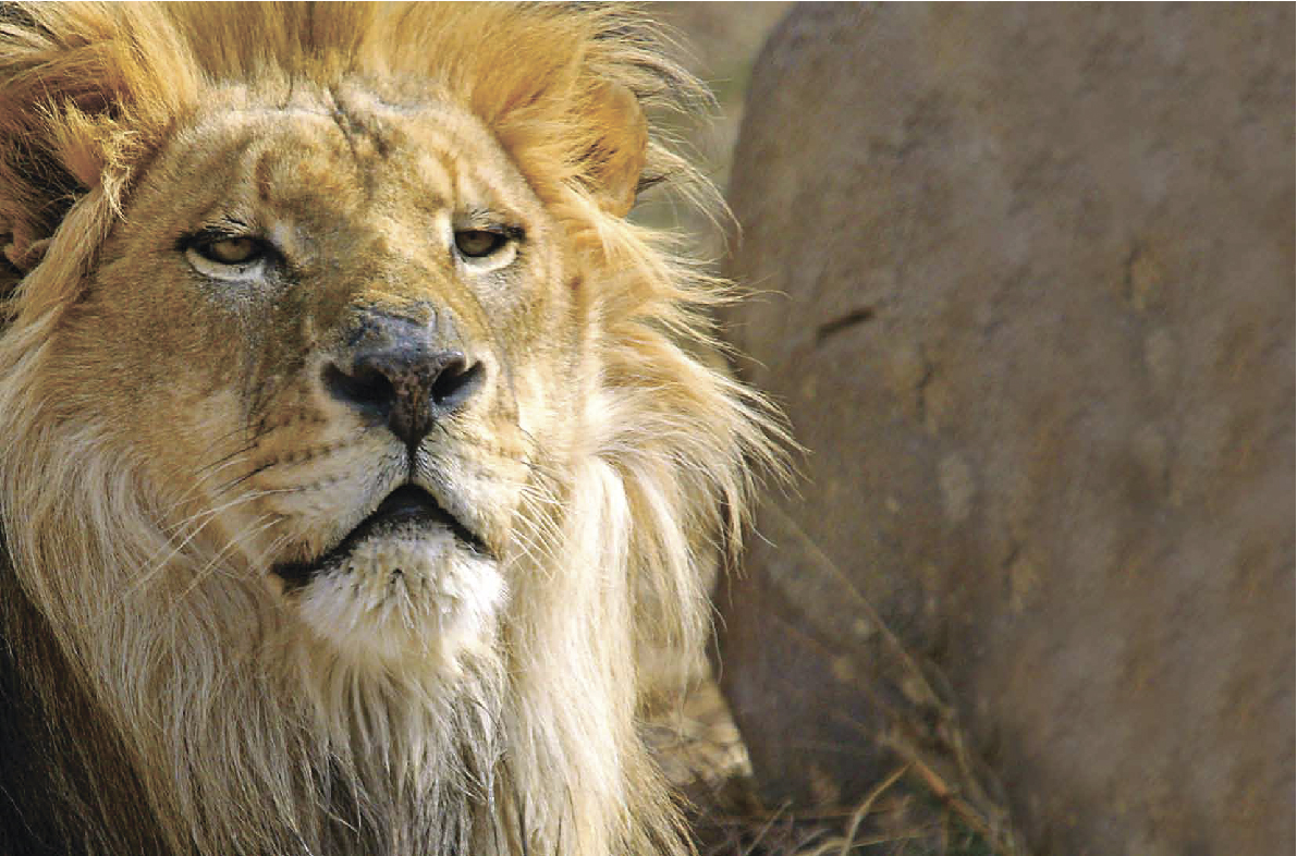 A mature trophy lion