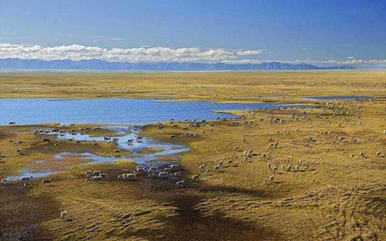 Large herd of migrating caribou