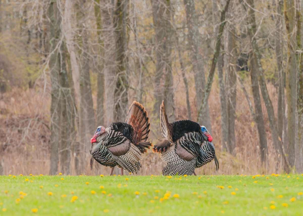 Two big eastern turkey male birds