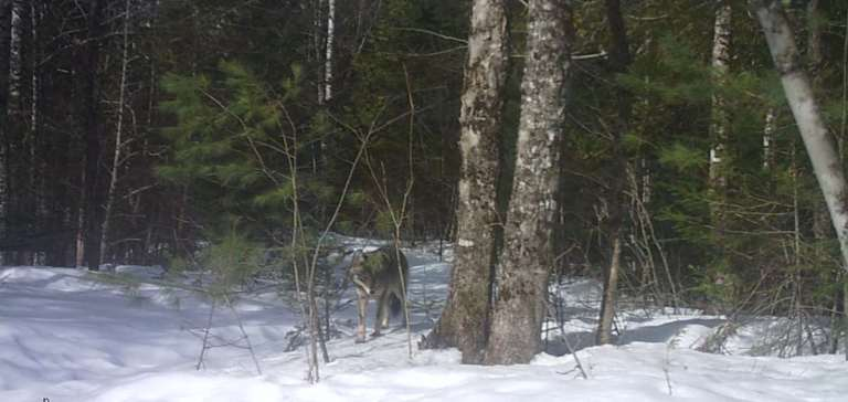 A coyote in a winter wood