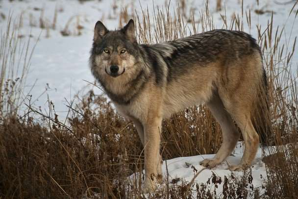 Wolves are bigger than coyotes
