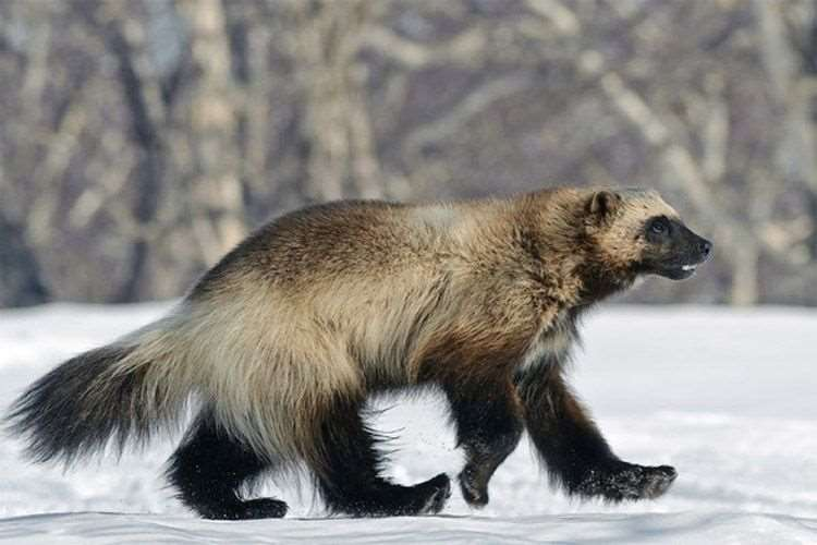 The real wolverine is no less amazing than the superhero named after it