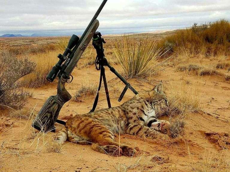 Bobcat in Arizona, calling hunt