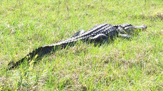 American alligator on land