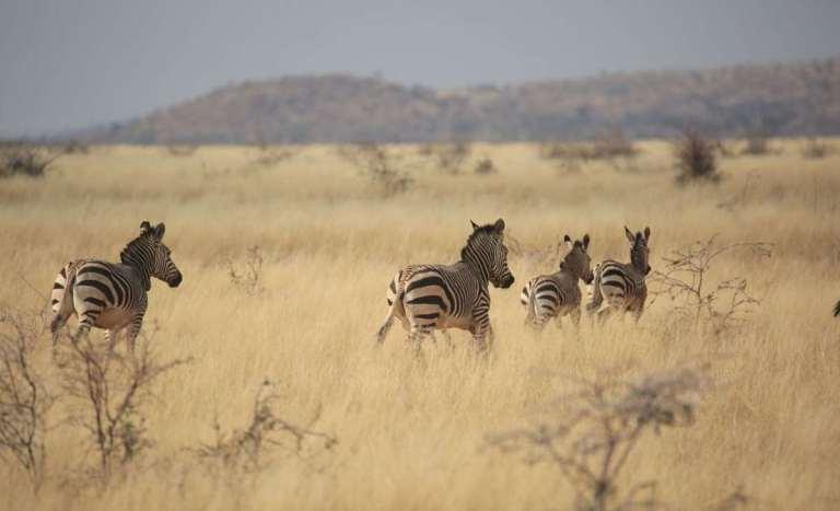 Zebras escapimg a hunter