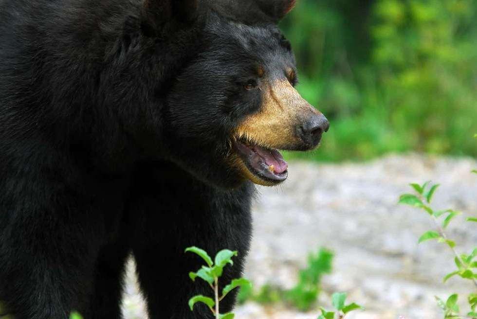 big old black bear