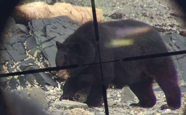 black bear shot with a rifle