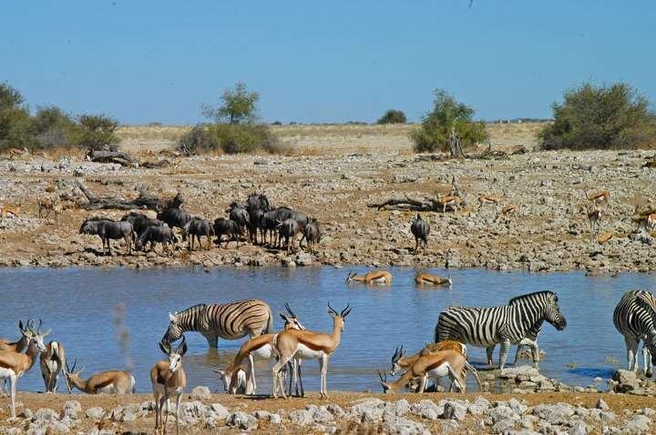 Zebra, springbuck and gnu sharing a waterhole