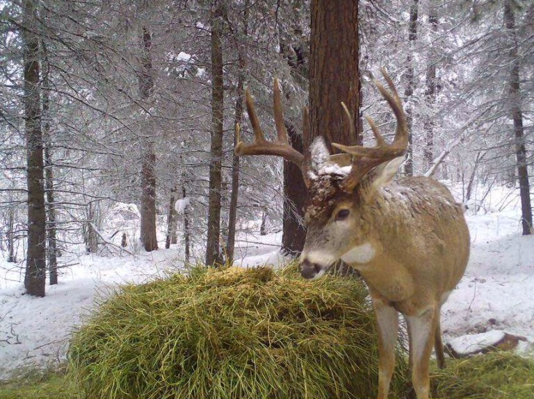whitetail feeding in winter