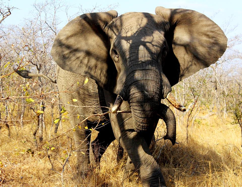 A charging bull elephant