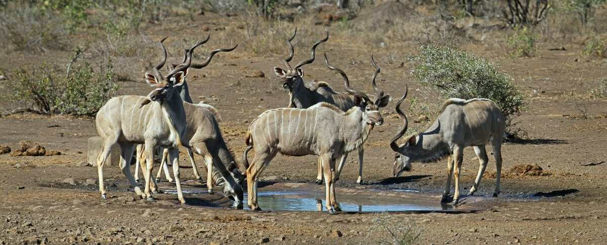 Kudu bull at a waterhole